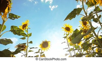 beautiful sunflower Helianthus field of yellow flowers on a background of blue sky landscape. slow motion video. a lot of sunflower - a large field of agriculture. collection of lifestyle biomass oil concepts sunflower farming agriculture