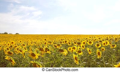 beautiful sunflower Helianthus field of yellow flowers on a background of blue sky landscape. slow motion video. a lot of sunflower - a large field of agriculture. collection of biomass oil concepts sunflower lifestyle farming agriculture