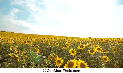 beautiful sunflower Helianthus field of yellow flowers on a background of blue sky landscape. slow motion video. a lot of sunflower - a large field of agriculture. collection of biomass oi lifestylel concepts sunflower farming agriculture