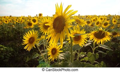 beautiful sunflower Helianthus field of yellow flowers on a...