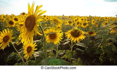 beautiful sunflower Helianthus field of yellow flowers on...