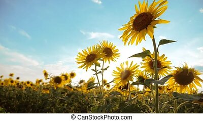 beautiful sunflower Helianthus lifestyle field of yellow flowers on a background of blue sky landscape. slow motion video. a lot of sunflower - a large field of agriculture. collection of biomass oil concepts sunflower farming agriculture