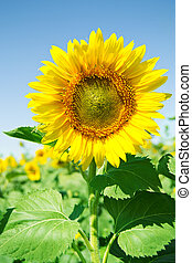 Beautiful sunflower in the field with bright blue sky