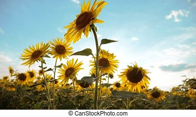 beautiful sunflower lifestyle Helianthus field of yellow flowers on a background of blue sky landscape. slow motion video. a lot of sunflower - a large field of agriculture. collection of biomass oil concepts sunflower farming agriculture