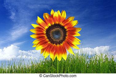 Beautiful sunflower on green meadow