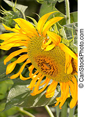 beautiful sunflower on nature as a background