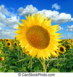 Beautiful Sunflower on the field