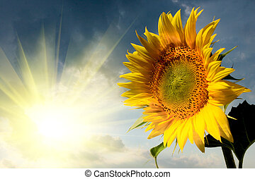 Beautiful sunflower on the sun rise