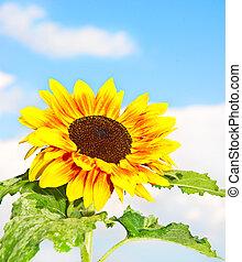 beautiful sunflower over blue sky