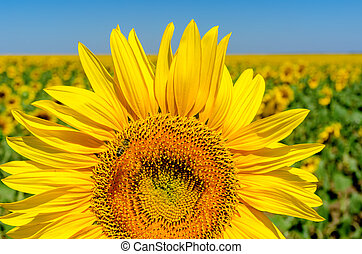 beautiful sunflower over field