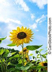Beautiful sunflowers against blue sky.