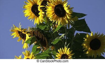 Beautiful sunflowers blossom against blue sky.