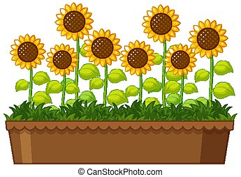 Beautiful sunflowers in pot on white background
