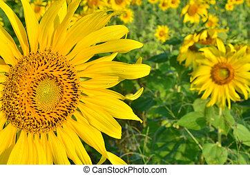 Beautiful sunflowers in the field