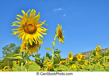 Beautiful sunflowers in the field with blue sky