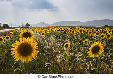 Beautiful sunflowers in the field with cloud sky