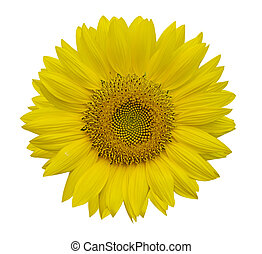 Beautiful sunflowers isolated on white background