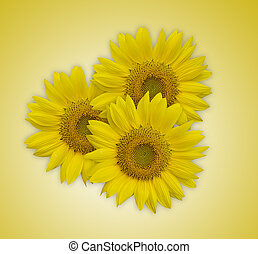Beautiful sunflowers isolated on yellow background