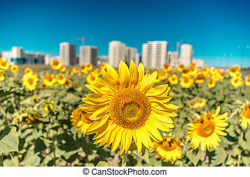 Beautiful sunflowers on a background of new buildings and blue sky