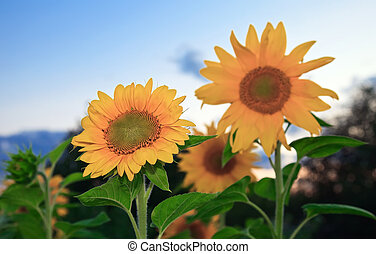Beautiful sunflowers on the sunset