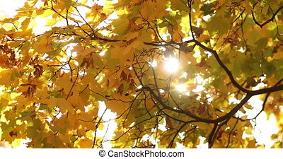 Stock footage of sunbeam shining through the top of an autumnal tree branches of yellow color. The tree flattering in the wind.