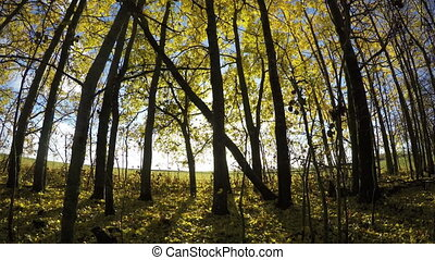 Beautiful sunlit day in golden aspen forest. Time lapse 4K -...