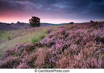 beautiful sunrise with flowering heather