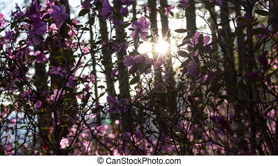 Beautiful sunset in forest. Rays of setting sun lighting amazing pink flowers
