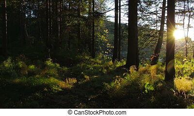 Beautiful sunset in the forest. Bright rays of the sun it the woods