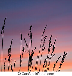 beautiful sunset with wheat grass in the foreground
