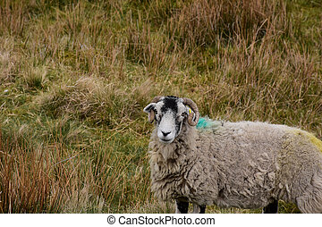 Beautiful Swaledale Sheep with Curved Horns in a Field