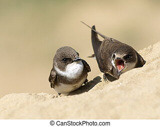 Beautiful swallow Sand Martin