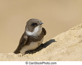 swallow Sand Martin, riparia ripari - Beautiful swallow Sand...