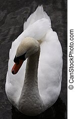 Beautiful swan on a pond