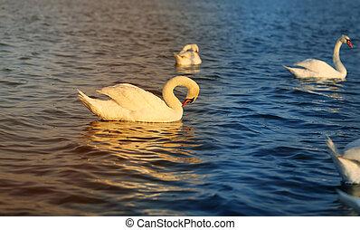 swans are big birds