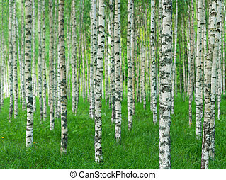 summer landscape with straight birch trees