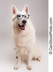 Swiss White Shepherd - Beautiful Swiss White Shepherd dog...