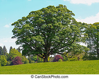 Beautiful sycamore tree with summer foliage in a park