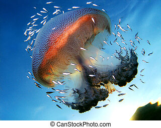 Beautiful Symbiosis Mutualism in between Jellyfish and school of fish
