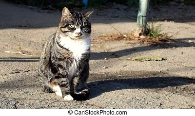 Beautiful tabby cat with a white collar catches the sounds...