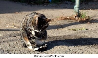 Beautiful tabby cat with a white collar sits and washed