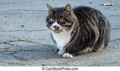 Beautiful tabby cat with a white collar sits on the asphalt...