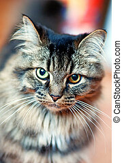 Beautiful tabby cat with different eyes. Close up.