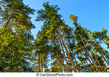 Beautiful tall pine trees. Bottom view. Summer sunny day in the forest