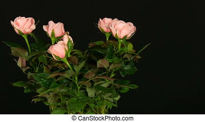 Beautiful tender fresh blooming pink rosebuds with water drops in a flower pot on which light wind blows on black background.