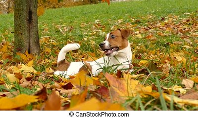 Beautiful terrier puppy outdoors in park - Happy jack ...