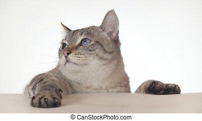 Beautiful Thai cat looking around close-up on white...