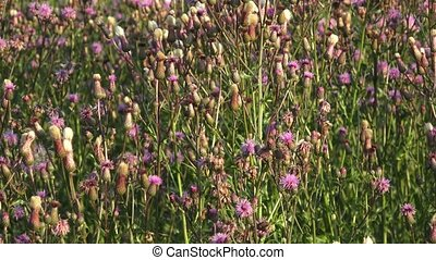 Beautiful thistle flower, on the meadow, with spectacular colors