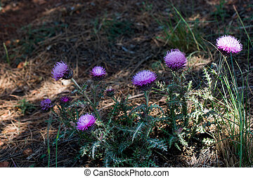 Beautiful Thistle flowers in nature
