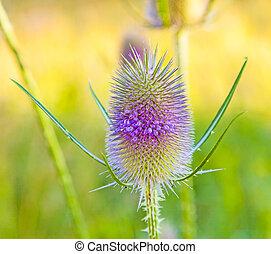 beautiful thistle in wild flower meadow